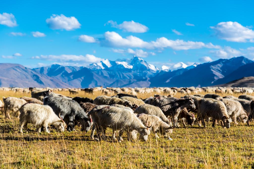 Changpa Ziegen im Himalaya, Kashmir